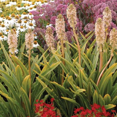 Eucomis 'Glow Sticks'