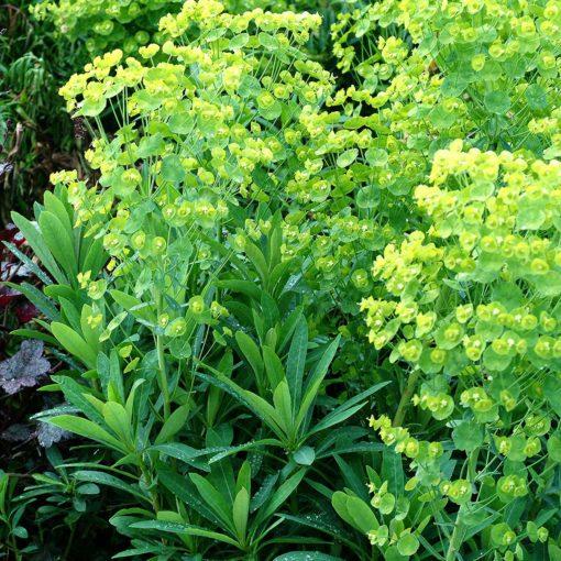 Euphorbia 'Blue Lagoon'