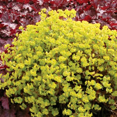 Euphorbia 'Golden Glory'