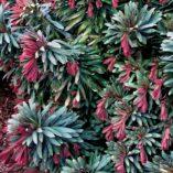 Euphorbia 'Jade Dragon'