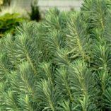 Euphorbia 'Lambrook Gold'