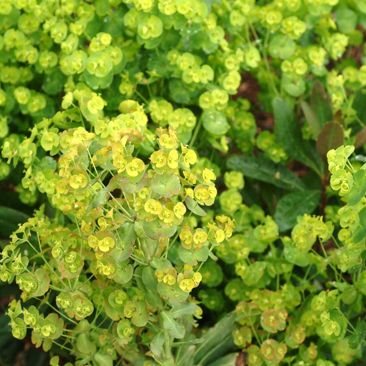 Euphorbia 'Orange Grove'