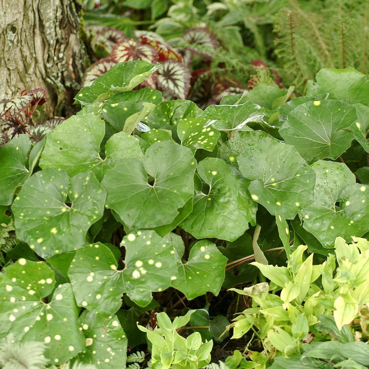 Farfugium 'Aureomaculatum'