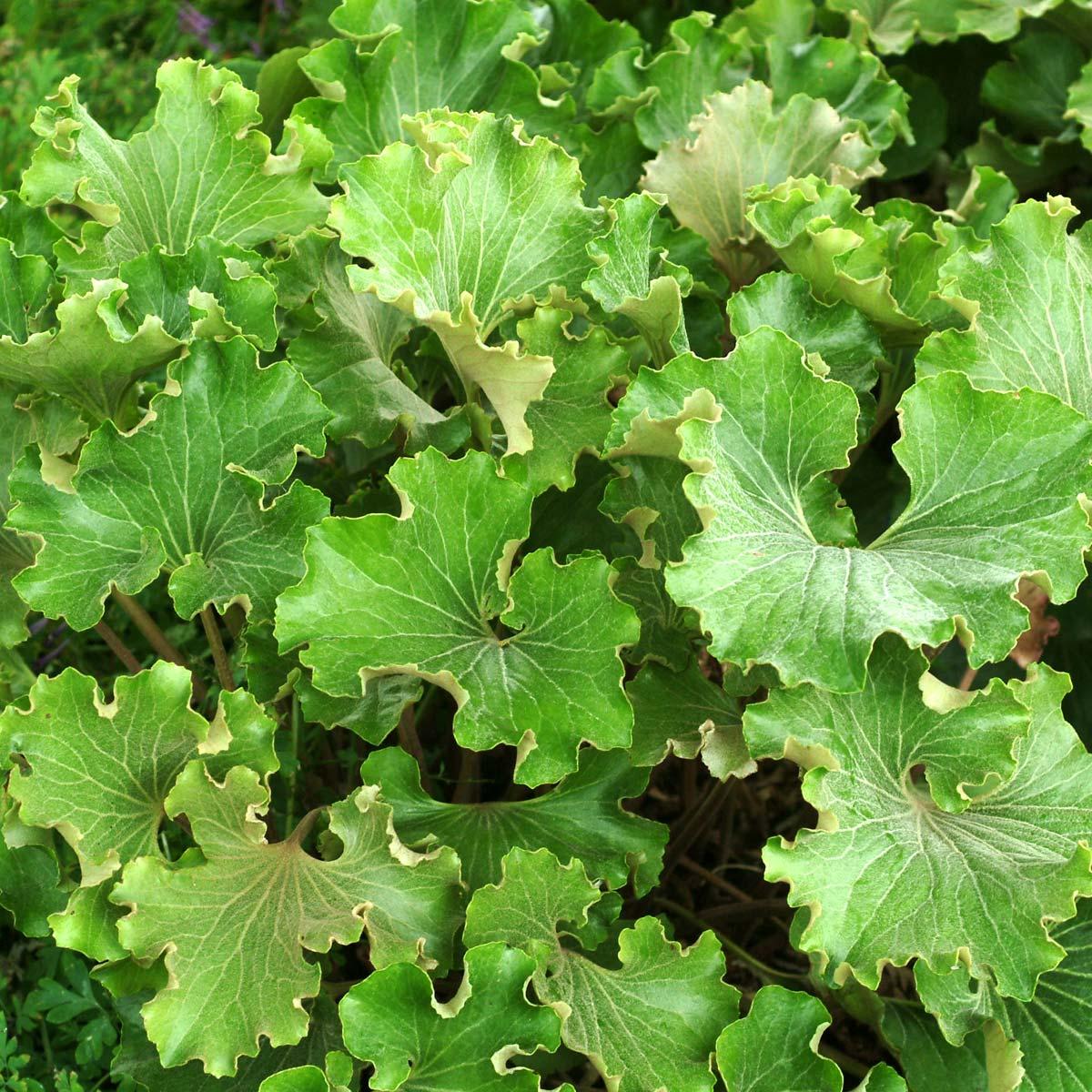 Farfugium 'Crispatum'