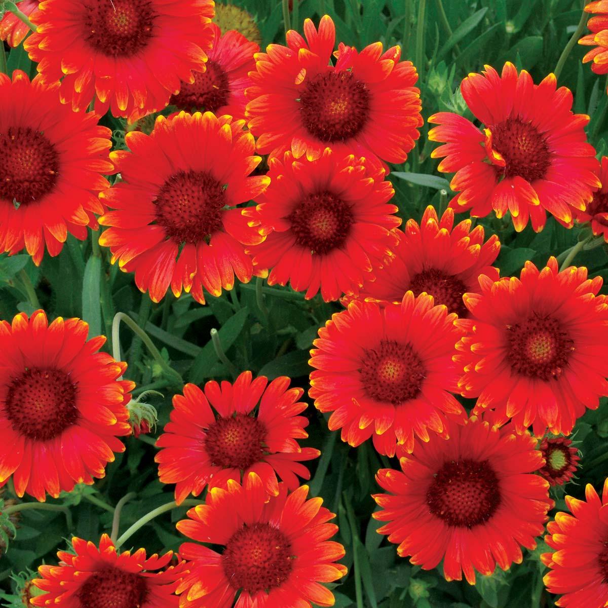 Gaillardia 'Red Sun'