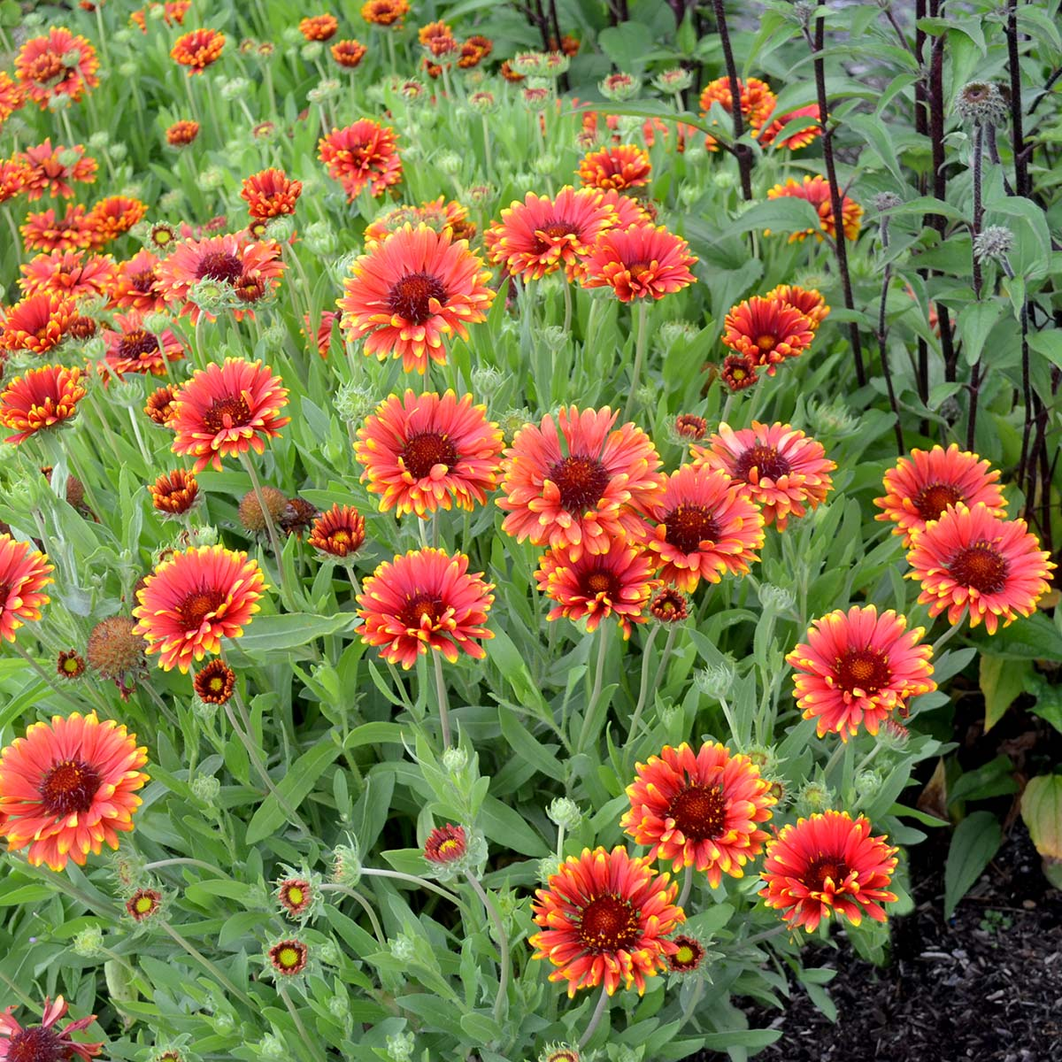 Gaillardia Red Sun Terra Nova Nurseries Inc
