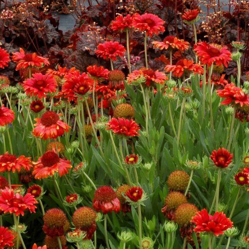 Gaillardia red sun terra nova nurseries inc gaillardia red sun mightylinksfo