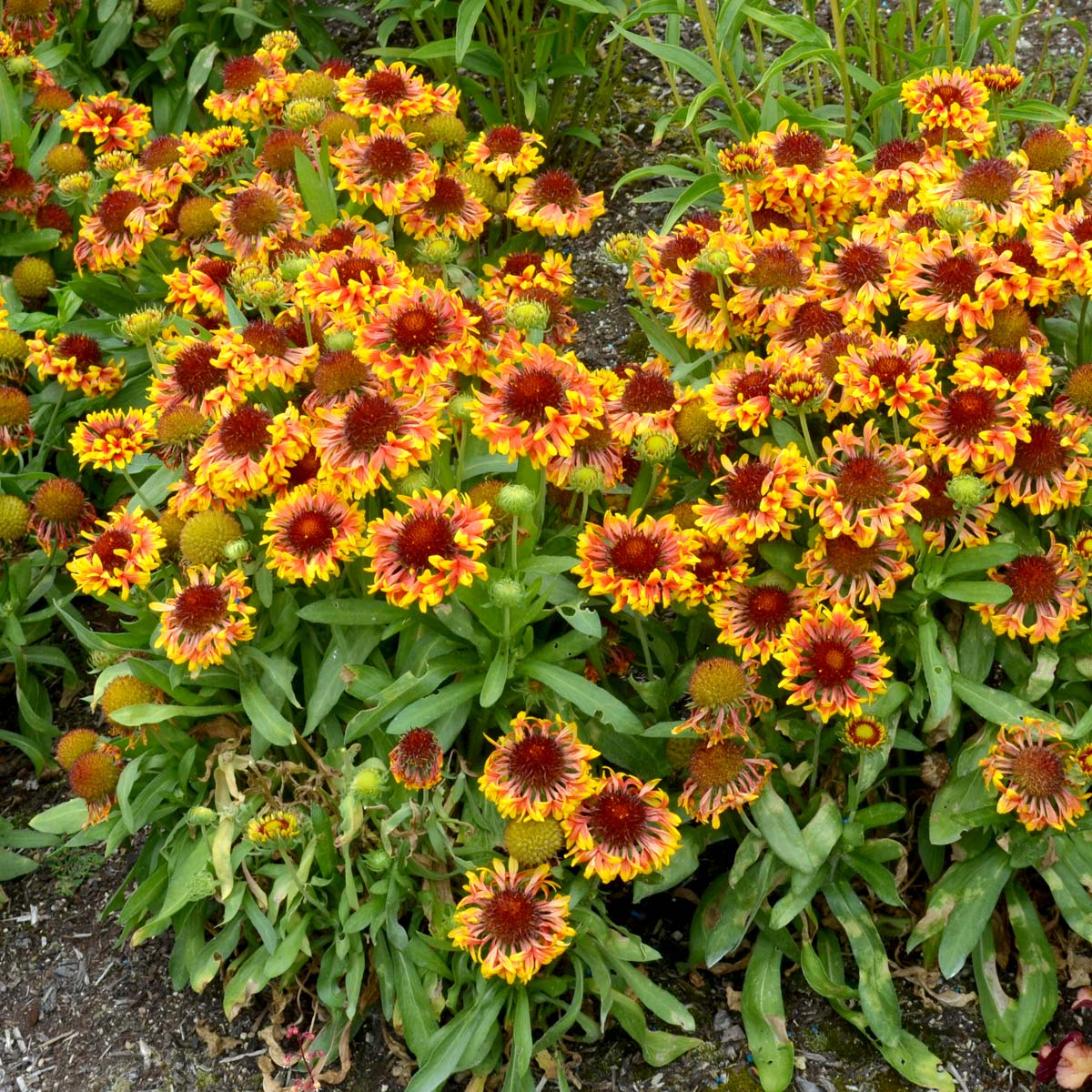 Gaillardia Sun Devil Terra Nova Nurseries Inc