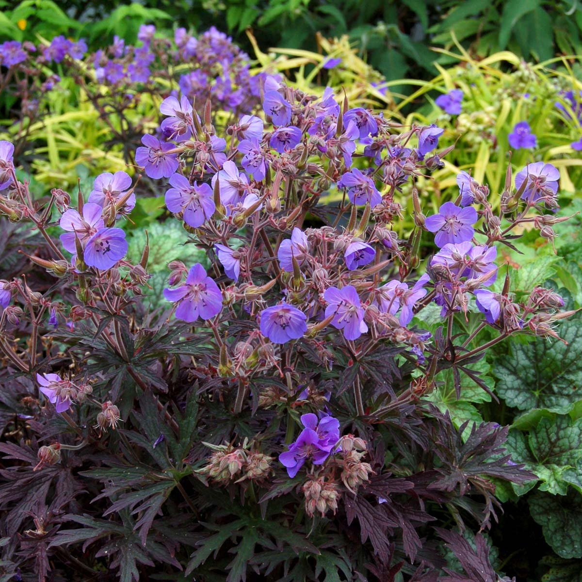 Geranium 'Midnight Reiter'