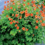 Geum RUSTICO™ Orange