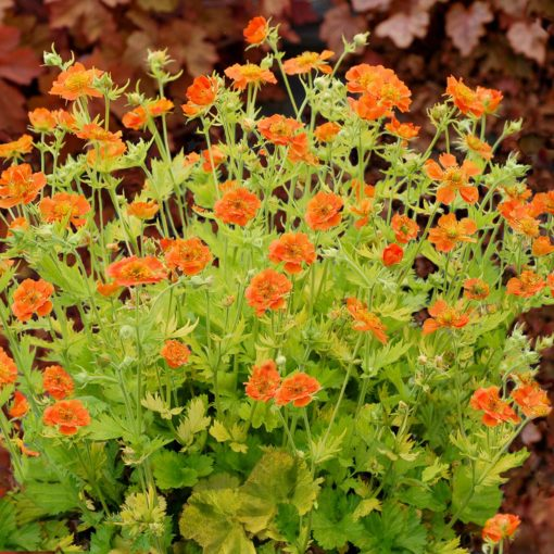 Geum 'Sunkissed Lime'