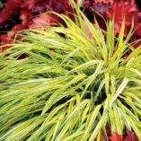 Hakonechloa 'Stripe It Rich'