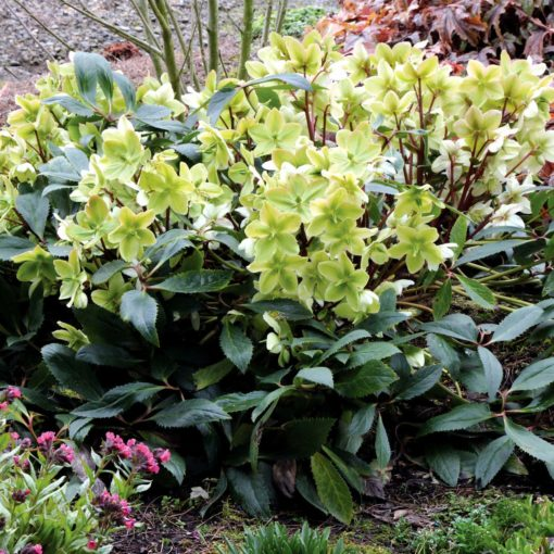 Helleborus 'Honeyhill Joy'