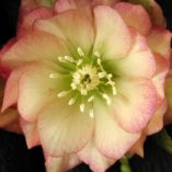 Helleborus WINTER JEWELS™ 'Amber Gem'
