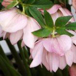 Helleborus WINTER JEWELS™ 'Cotton Candy'
