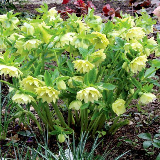 Helleborus WINTER JEWELS™ 'Golden Lotus'