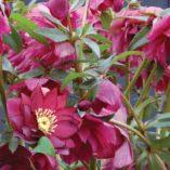 Helleborus WINTER JEWELS™ 'Red Sapphire'