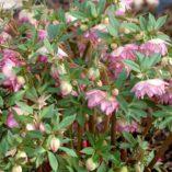 Helleborus WINTER JEWELS™ 'Rose Quartz'