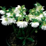 Helleborus WINTER JEWELS™ 'Sparkling Diamond'