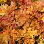 Heuchera 'Amber Waves'