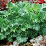 Heuchera 'Apple Crisp'