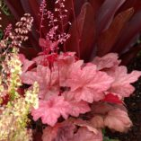 Heuchera 'Autumn Leaves'