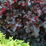 Heuchera 'Black Beauty'