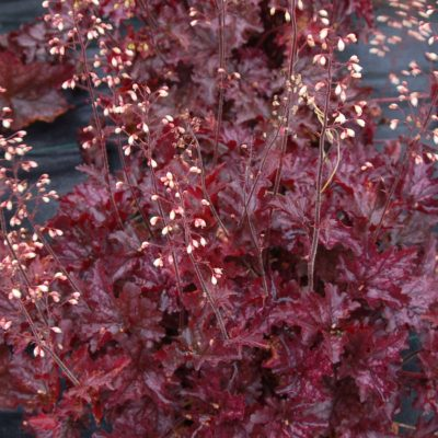 Heuchera 'Blackberry Crisp'