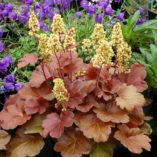 Heuchera 'Blondie'