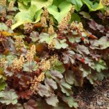 Heuchera LITTLE CUTIES™ 'Blondie'