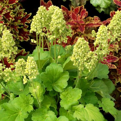 Heuchera LITTLE CUTIES™ 'Blondie in Lime'