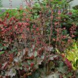 Heuchera 'Cherries Jubilee'