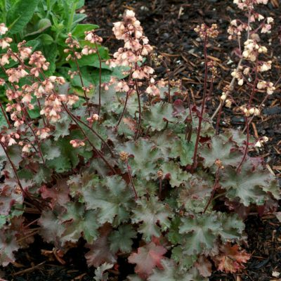 Heuchera 'Chinook'