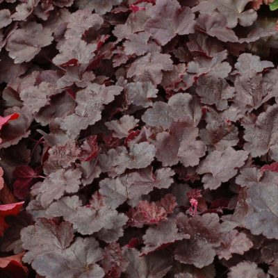 Heuchera LITTLE CUTIES™ 'Coco'