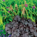 Heuchera 'Creole Nights'