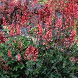Heuchera 'Florist's Choice'