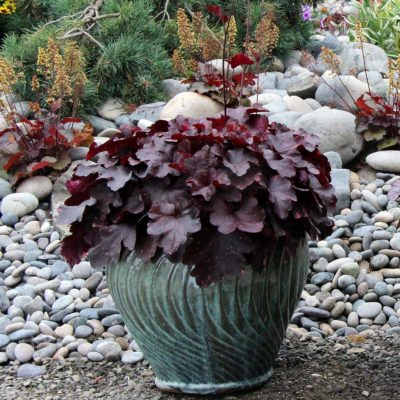 Heuchera 'Galaxy'