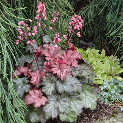 Heuchera 'Ginger Snap'