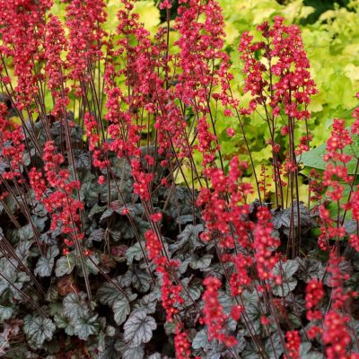 Heuchera 'Hollywood'