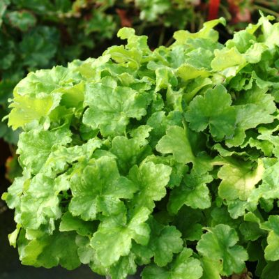 Heuchera 'Key Lime Pie'