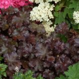 Heuchera 'Licorice'