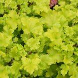 Heuchera 'Lime Marmalade'