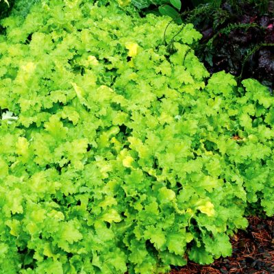 Heuchera 'Lime Rickey'