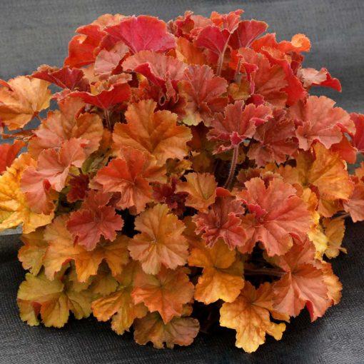 Shade Garden Plants Annuals
