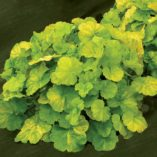 Heuchera NORTHERN EXPOSURE™ Lime