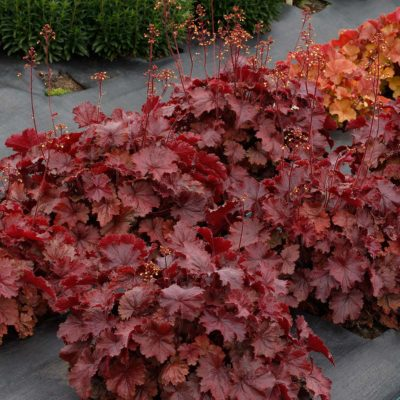 Heuchera NORTHERN EXPOSURE™ Red