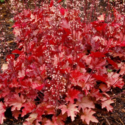 Heuchera 'Peach Flambe'
