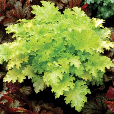 Heuchera 'Pear Crisp'