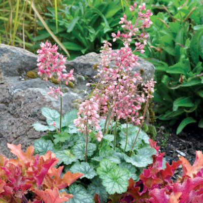 Heuchera 'Peppermint'