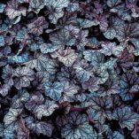 Heuchera 'Persian Carpet'